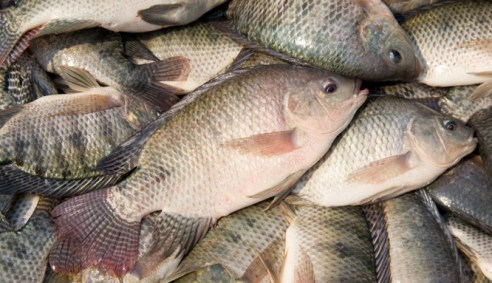 Wesafu Fresh Water Tilapia